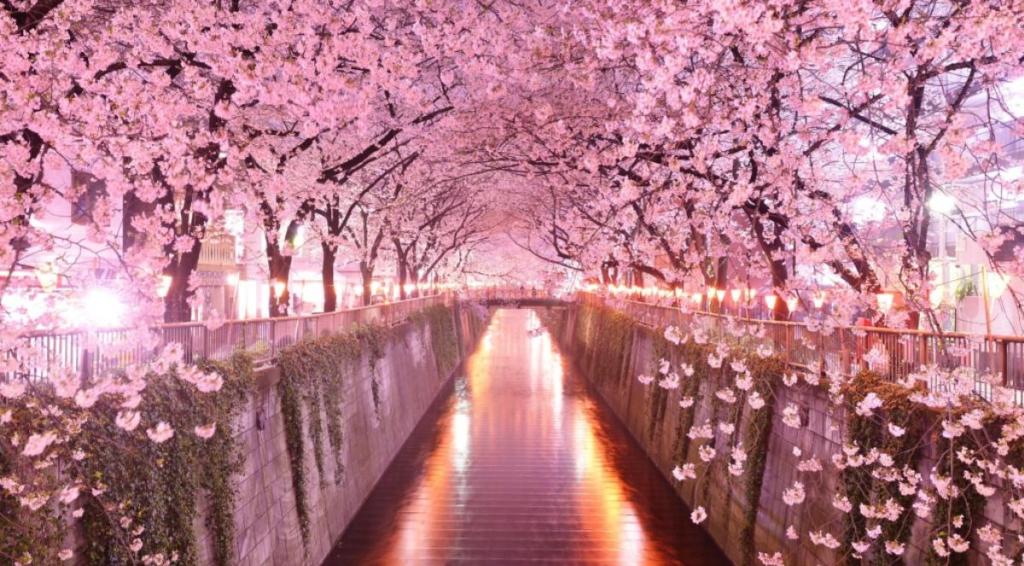 Giappone, ciliegi in fiore