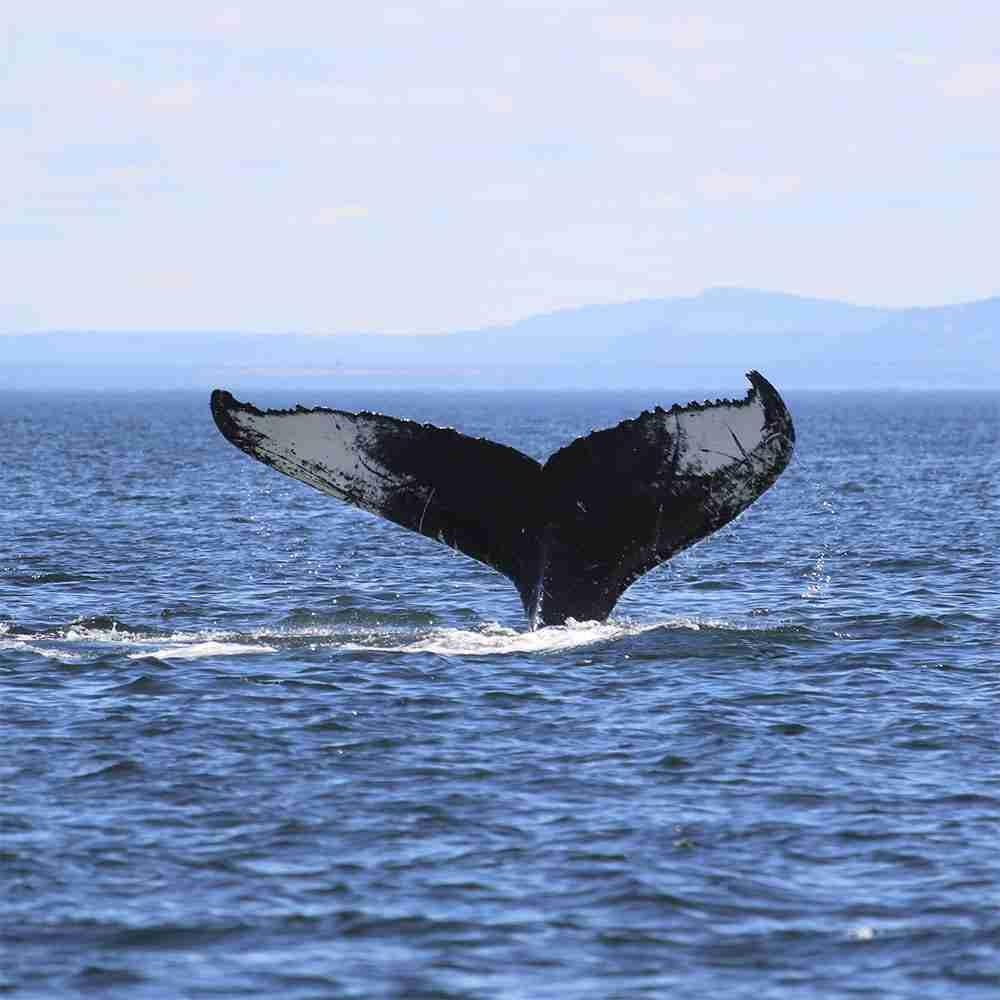 Balene in Islanda